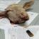 """Ataf, un pacco per """"L'Avvocato Ferrantino"""", dentro una testa di agnello"""